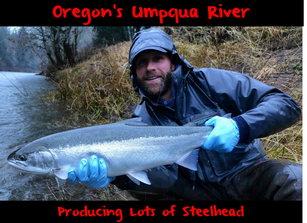 Oregon's Umpqua River Producing Lots of Steelhead